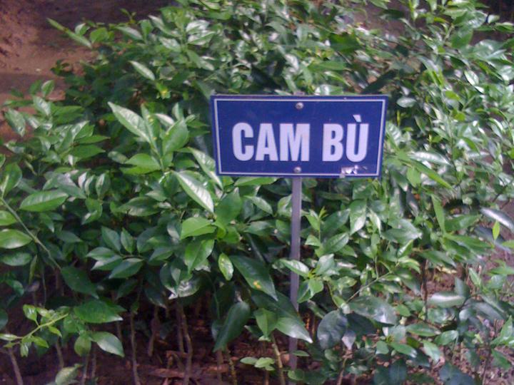 Cây giống Cam bù Hương Sơn