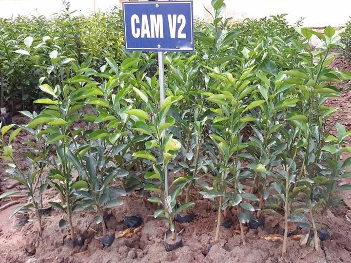 Cây giống Cam V2