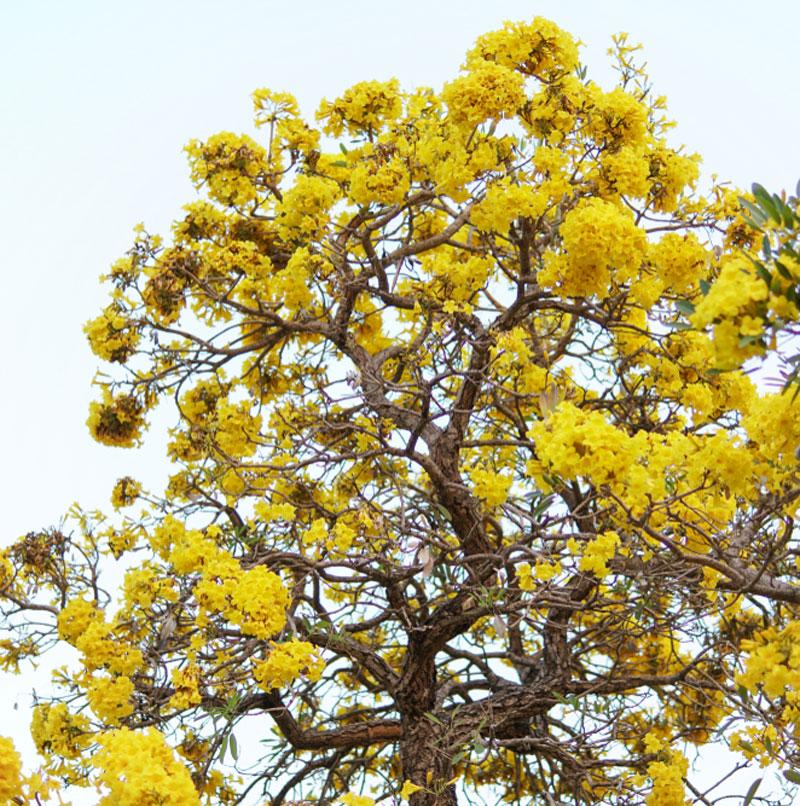 hoa phong linh