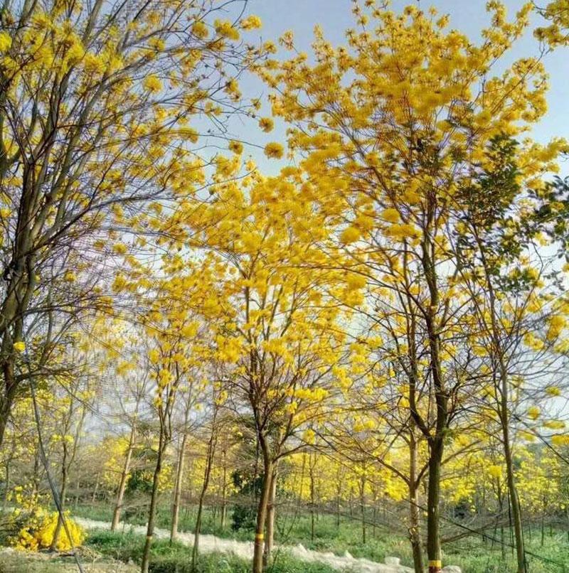 Cây phong linh hoa vàng